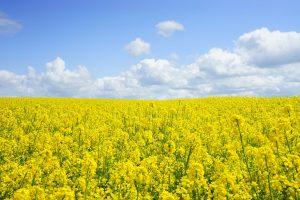 Biocarburants : le colza peut servir à faire du biodiesel